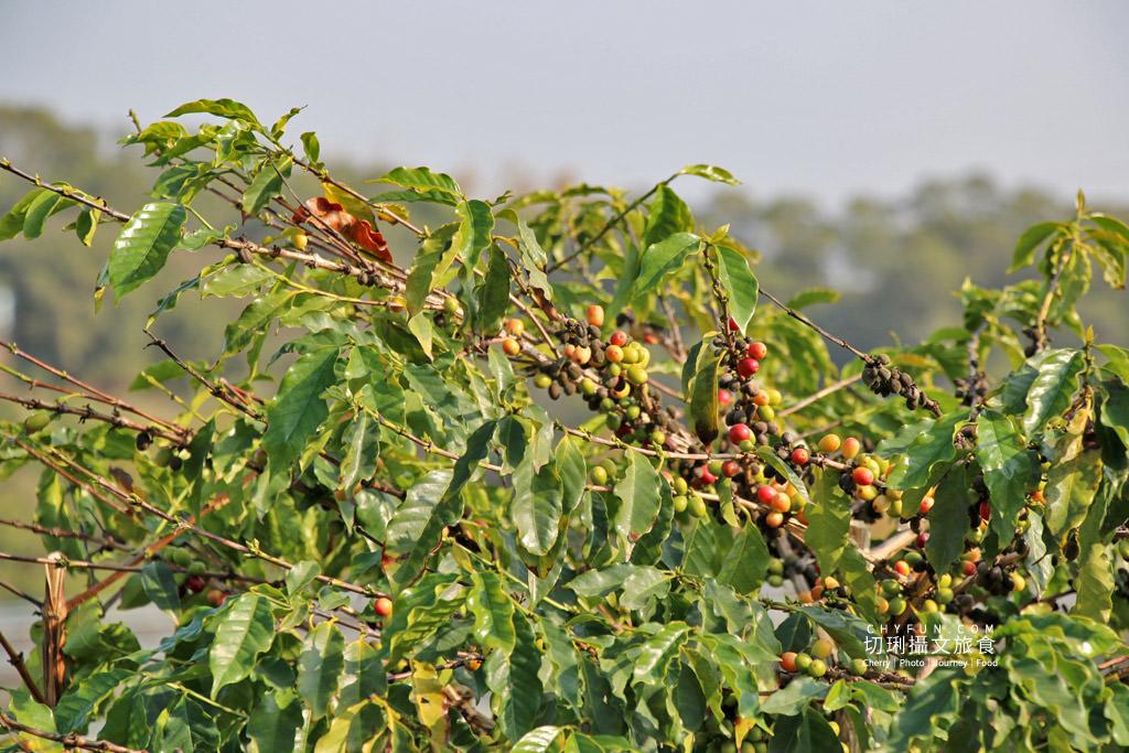 八卦山咖啡01國村咖啡莊園 彰化|走訪八卦山咖啡產地到阿束社看景,聽國村青農栽培得獎咖啡生豆