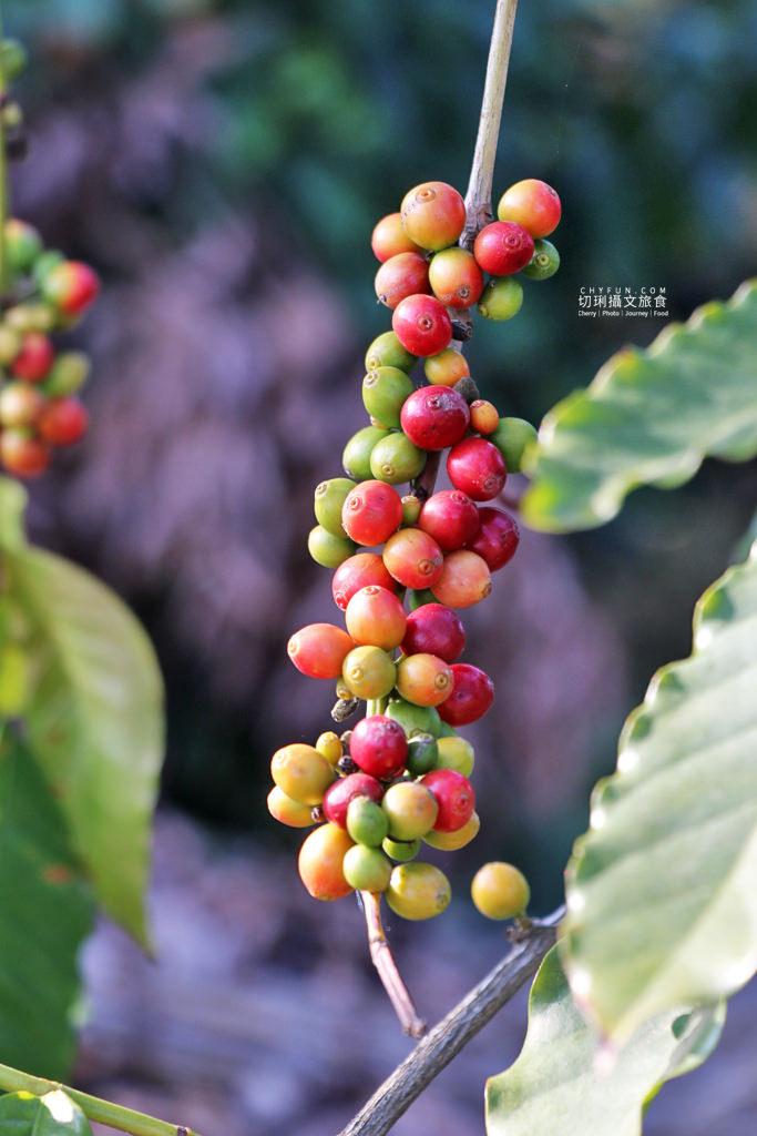 八卦山咖啡04國村咖啡莊園 彰化|走訪八卦山咖啡產地到阿束社看景,聽國村青農栽培得獎咖啡生豆