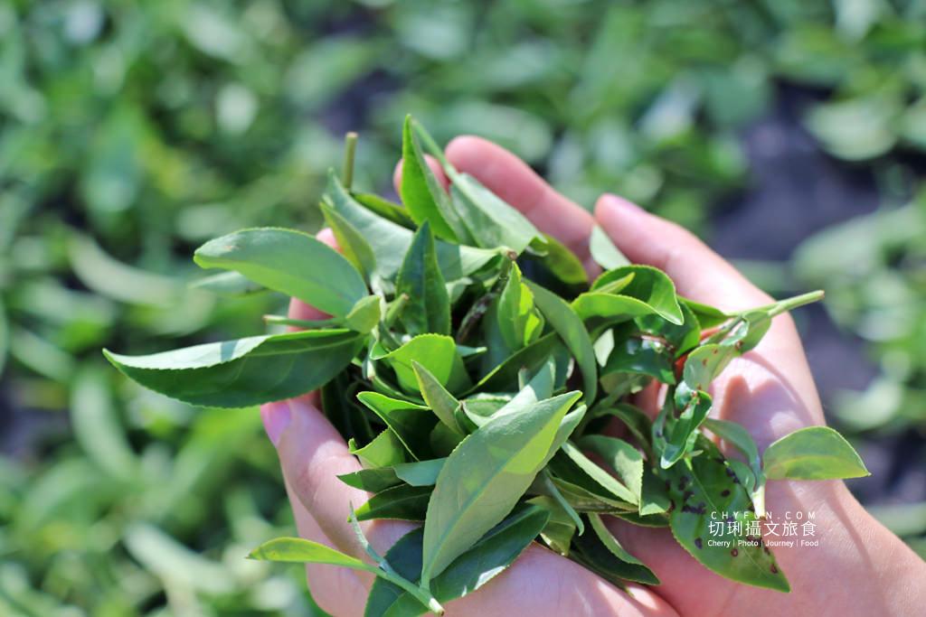 六十石山金針花兩天一夜33_龍安製茶廠採茶品茗