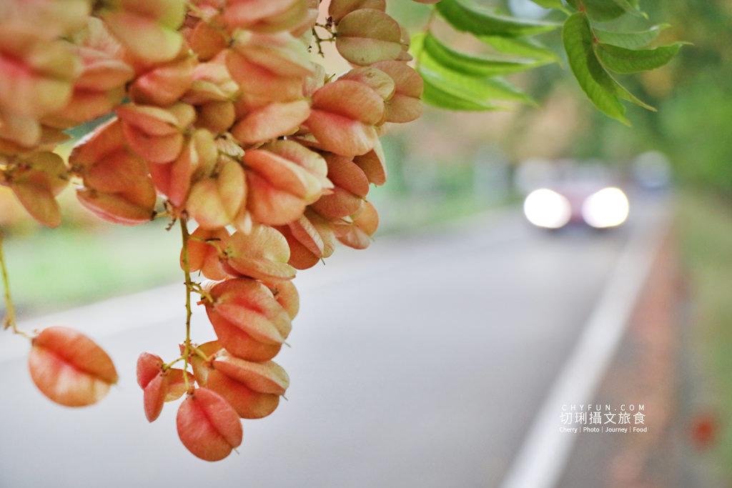 台南新營南紙社區台灣欒樹11