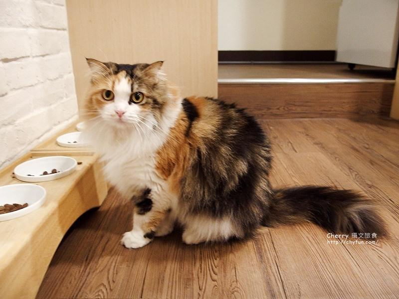 1471259016-da424c14e535ee37257cb78034b9f7d5 高雄、貓餐廳|逗貓趣Funny Cat,多貓兒陪寵又萌又療癒
