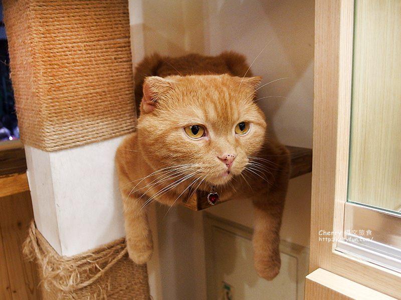 1471259097-b87d1139e97c5c5884a060d9f578e7d6 高雄、貓餐廳|逗貓趣Funny Cat,多貓兒陪寵又萌又療癒