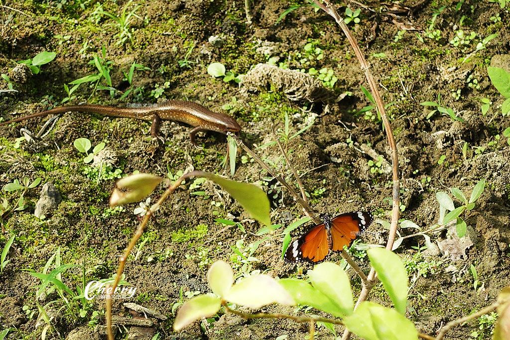20171228072342_94 高雄|金獅湖蝴蝶園,近距離看蝴蝶翩翩飛舞與生態