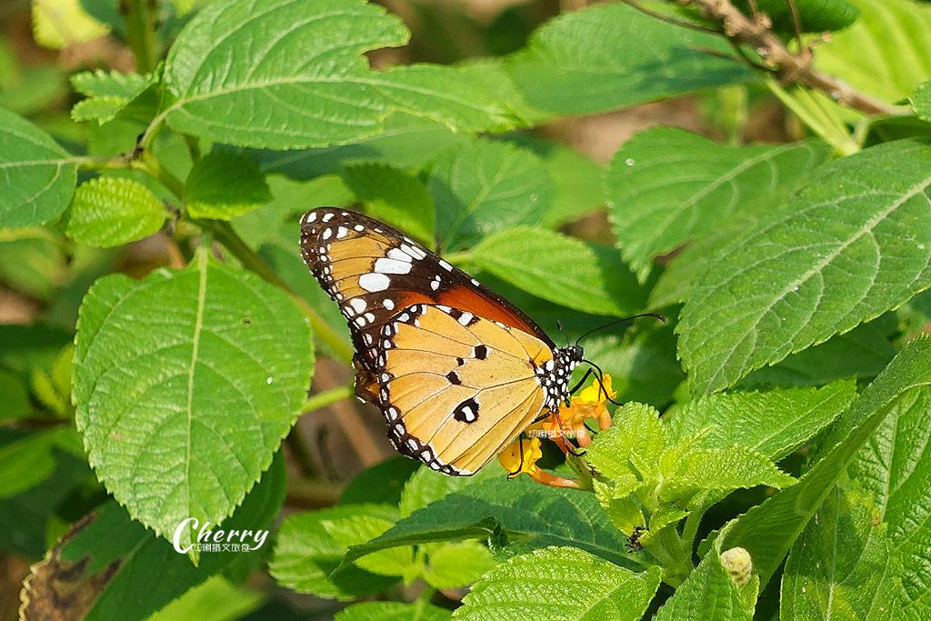 20171228072353_83 高雄|金獅湖蝴蝶園,近距離看蝴蝶翩翩飛舞與生態