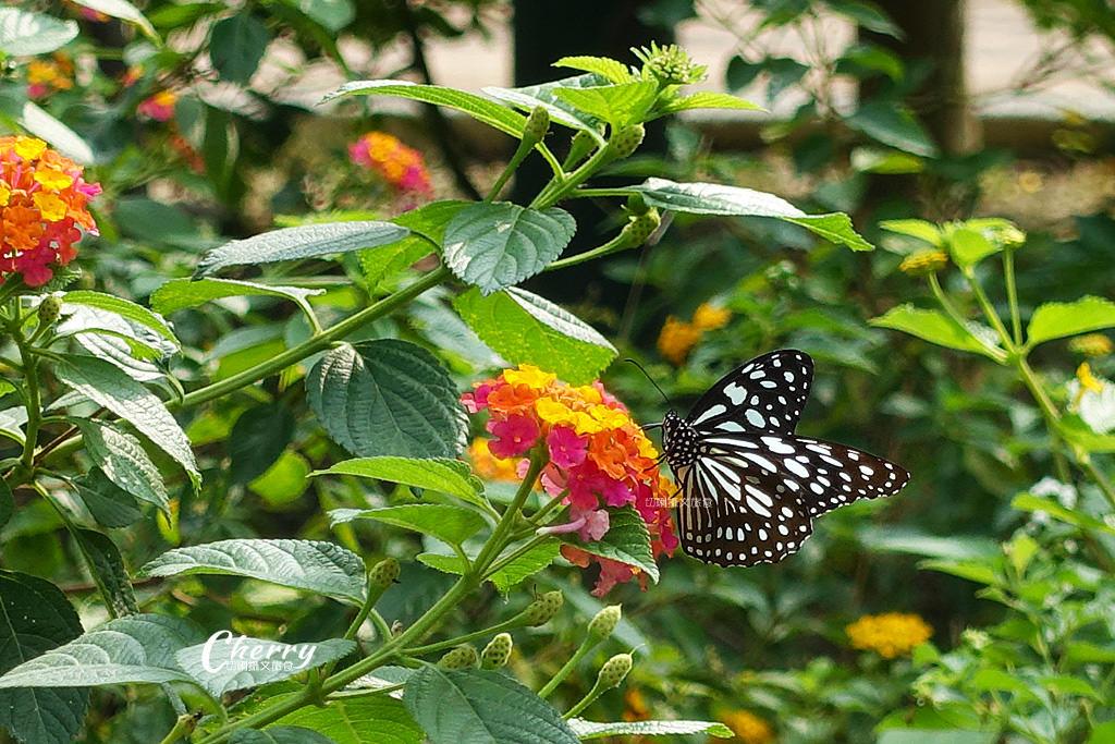 20171228072359_15 高雄|金獅湖蝴蝶園,近距離看蝴蝶翩翩飛舞與生態