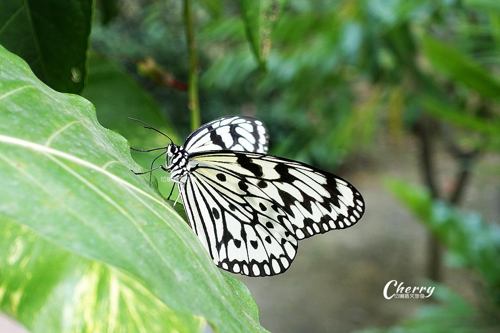 20171228072402_25 高雄|金獅湖蝴蝶園,近距離看蝴蝶翩翩飛舞與生態