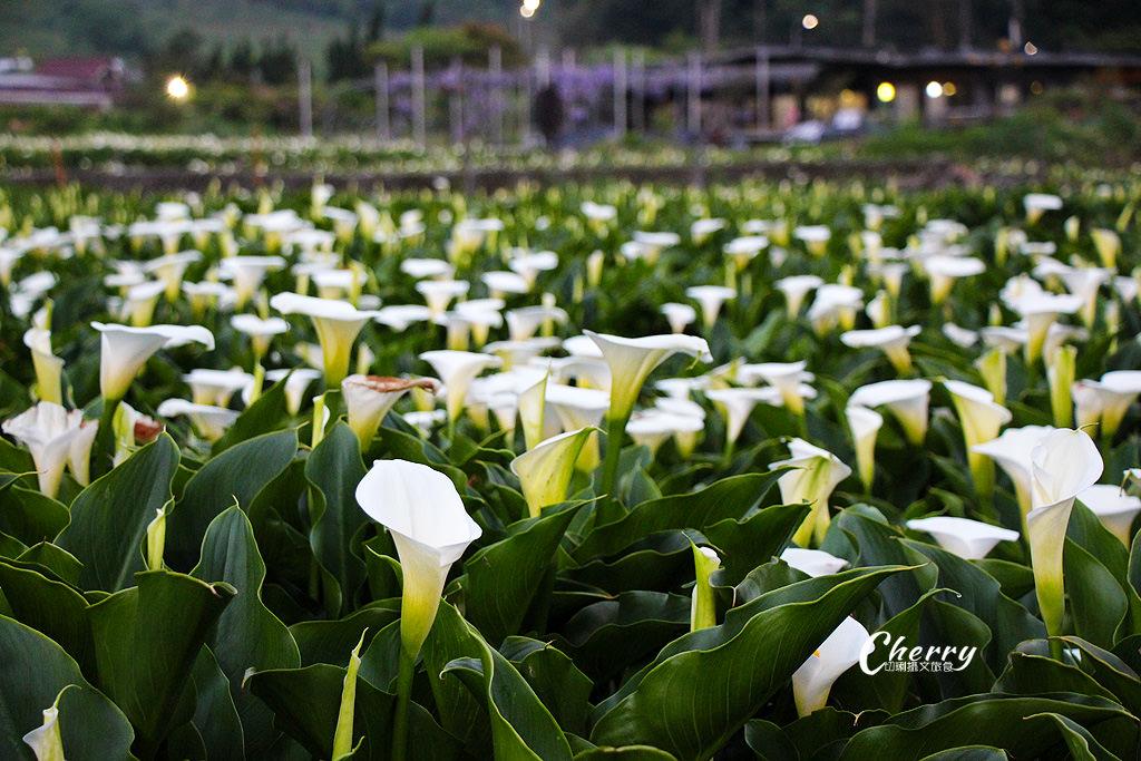 台北陽明山竹子湖海芋季