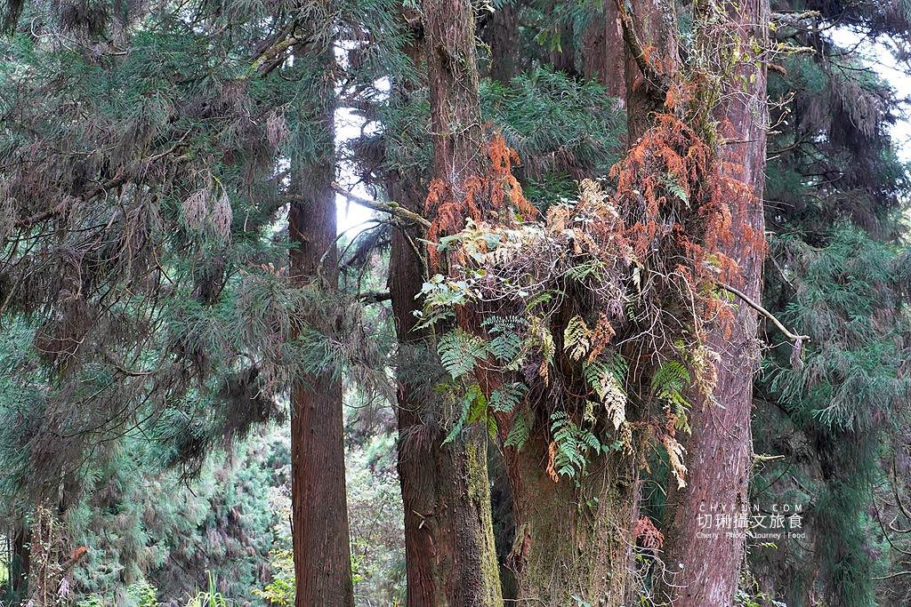 20190103235344_48 嘉義 阿里山水山巨木步道秘境,尋幽漫遊觀賞巨木風采與龍貓樹洞