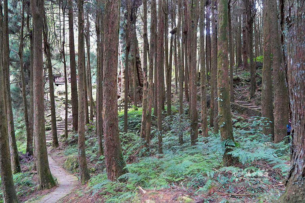 20190103235551_31 嘉義 阿里山水山巨木步道秘境,尋幽漫遊觀賞巨木風采與龍貓樹洞