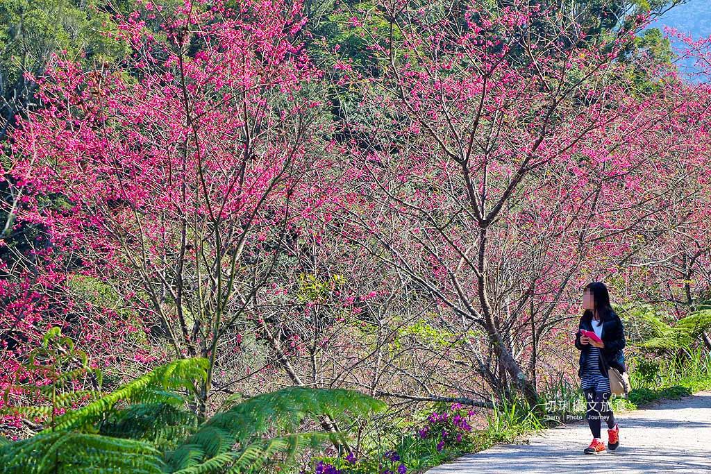 高雄賞櫻、藤枝櫻花、二集團櫻花、寶山二集團櫻花公園