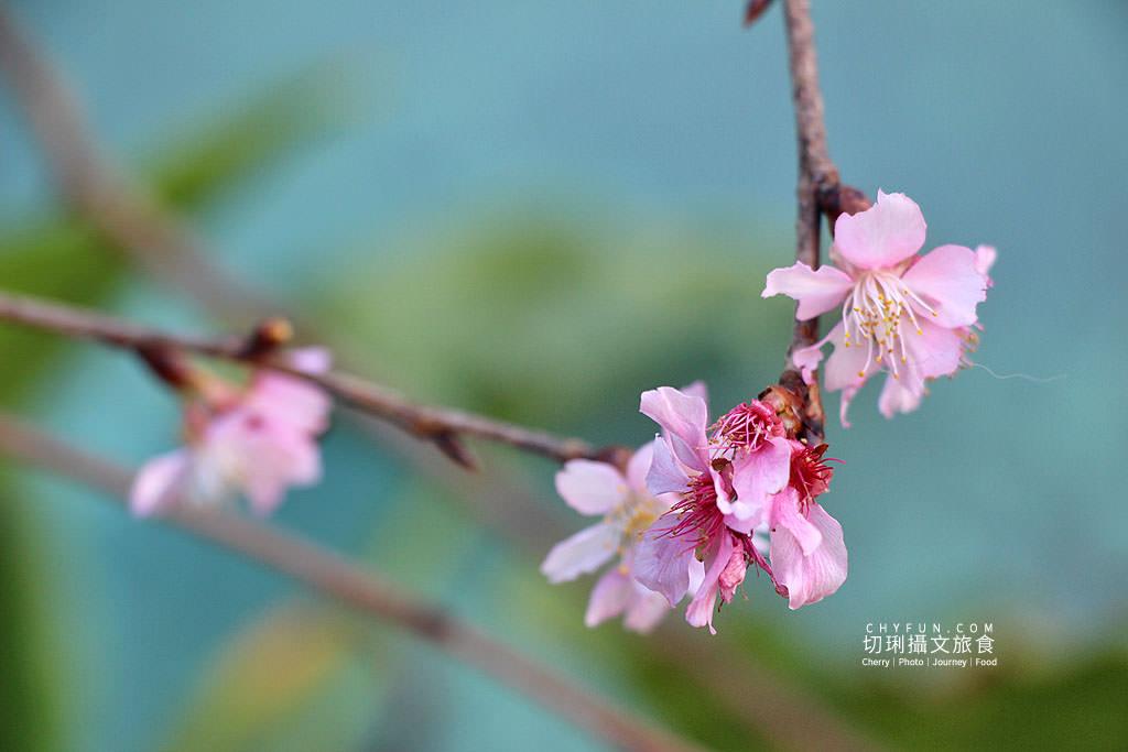20190115184225_63 高雄|桃源寶山二集團櫻花盛開,山林紅色系美景爭艷