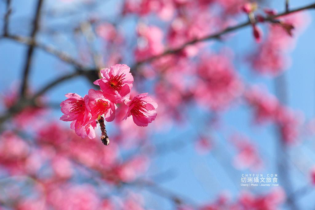 20190115184249_92 高雄|桃源寶山二集團櫻花盛開,山林紅色系美景爭艷