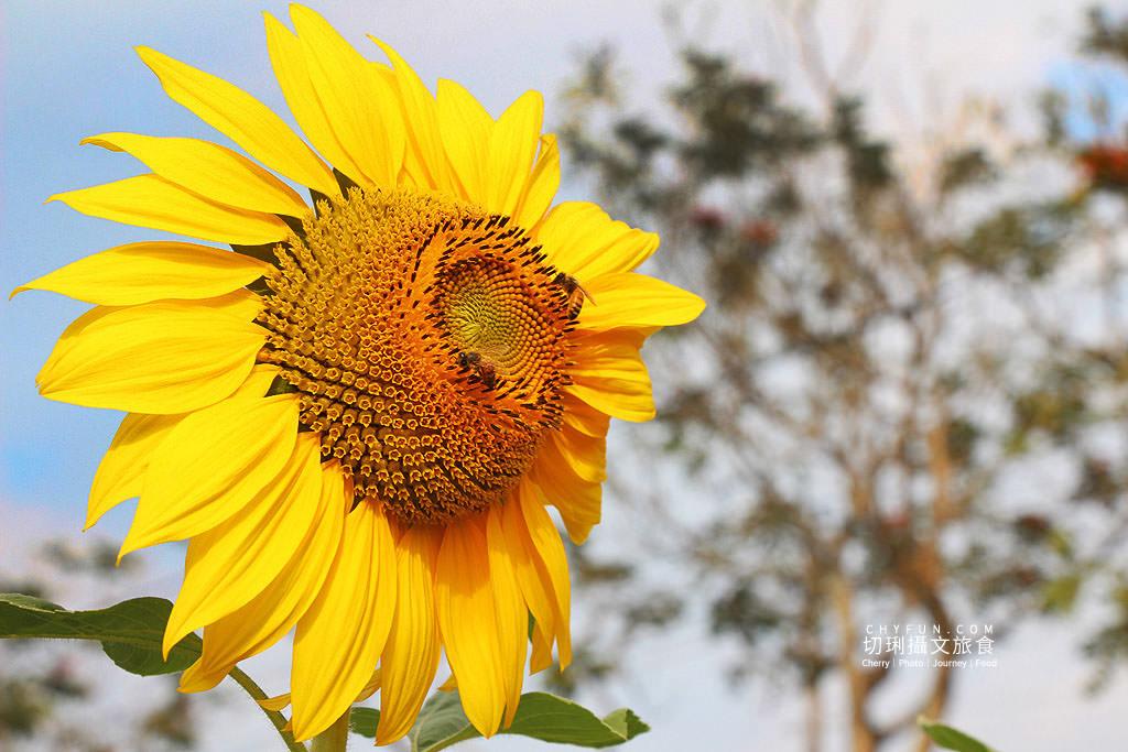 20190123221117_46 高雄 杉林葵花綻放迎賓,全台最大眾多花海引人入叢