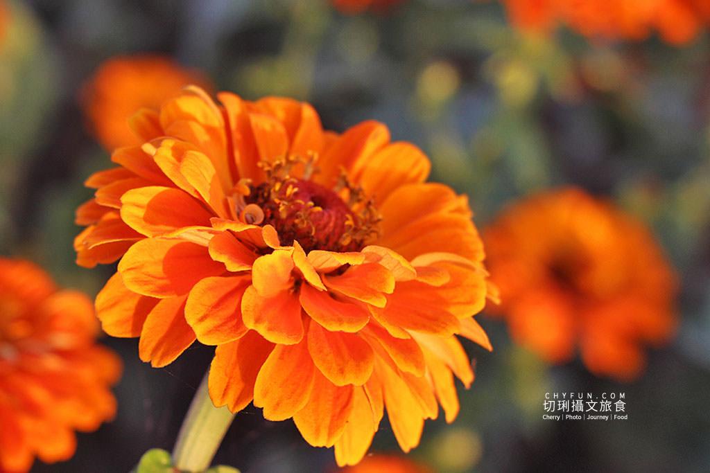 20190204010420_13 台南|鹽水花海襯月津燈節,彩色百日草與波斯花海綻放迎春