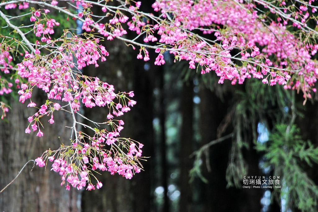20190320005309_13 嘉義|阿里山賞櫻正旺,櫻花季二日遊美食美景趣