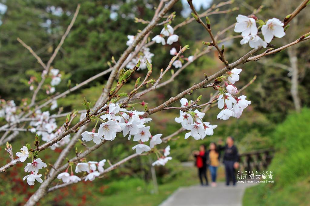 20190320005312_36 嘉義|阿里山賞櫻正旺,櫻花季二日遊美食美景趣