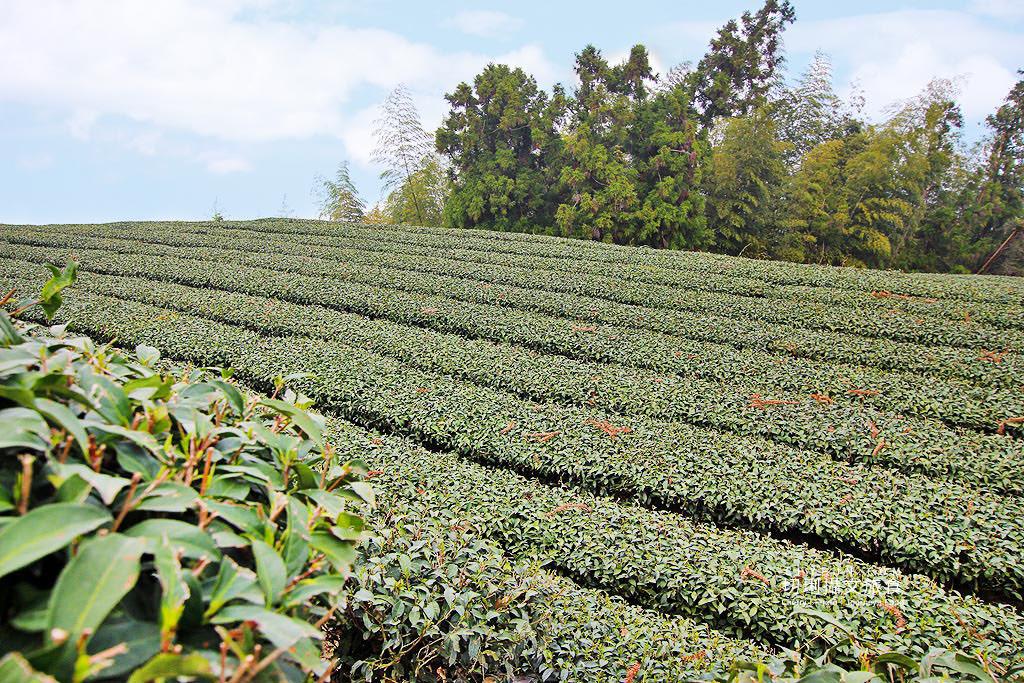 20190325031827_7 嘉義|瑞峰1314觀景台享茶園浪漫,在山頂藍天雲霧中品味茶便當
